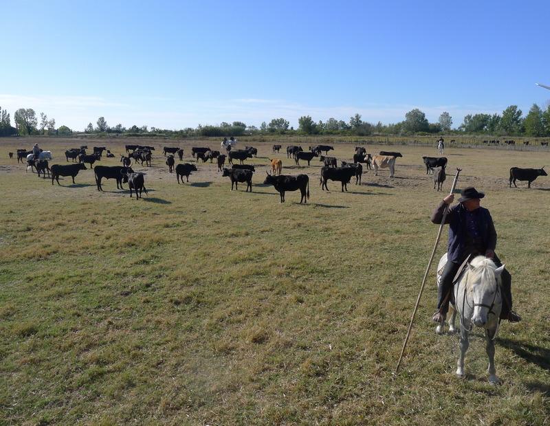 à la manade taureaux